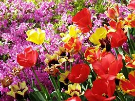 Когда сажать тюльпаны. А надо ли выкапывать?