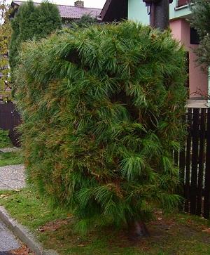 Живая изгородь из ели. Взгляд из Словакии