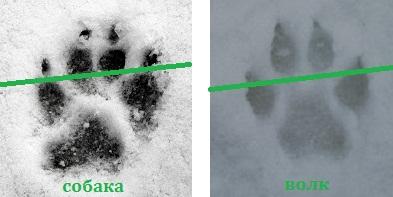 Следы зверей на снегу. Кто ходит по лесу зимой