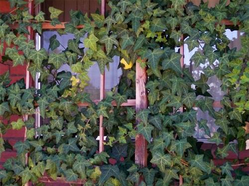 Кустарники для живой изгороди. Что и куда посадить?