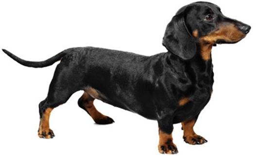 Такса карликовая. Порода собак такса. Такса: характер, фото