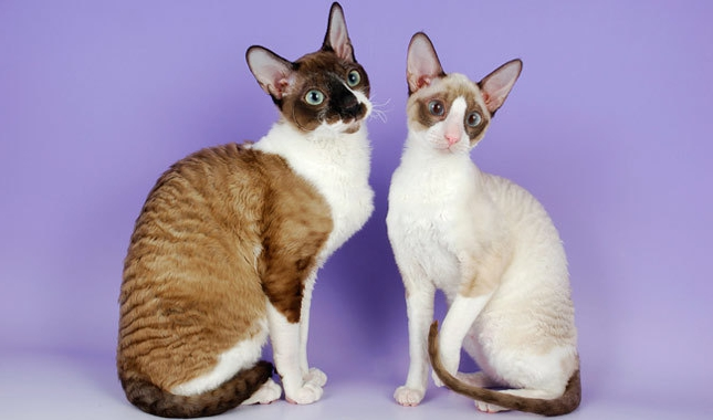 Порода кошек корниш-рекс: характер, фото, цены и отзывы