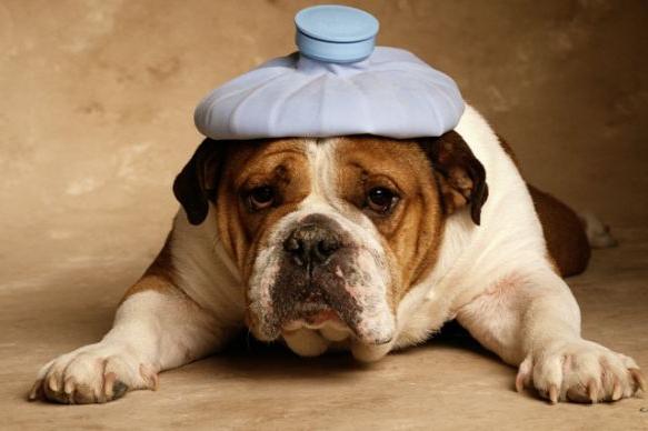 Препарат «Веракол» для собак: инструкция по применению